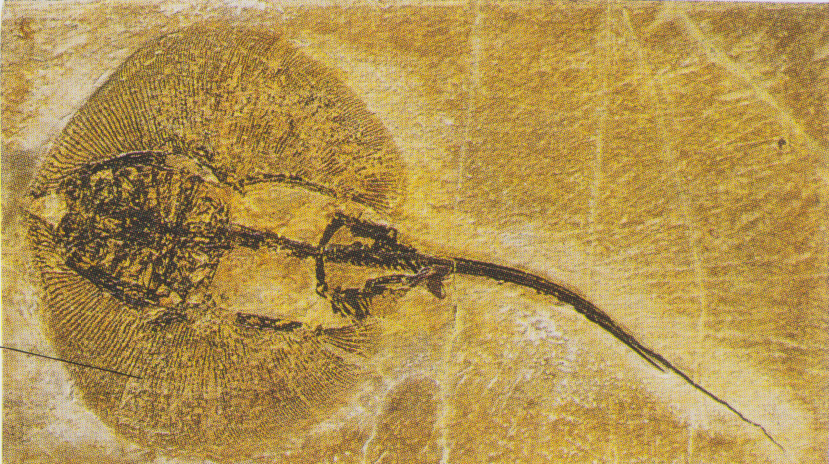 Fossil of a stingray like fish.